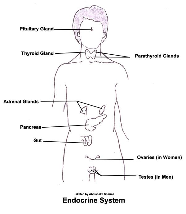 Diagram Of The Endocrine System. Diagram. Free Database Wiring ...